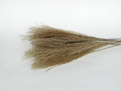Droogbloemen pampas