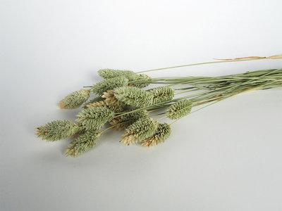 Gedroogde phalaris naturel
